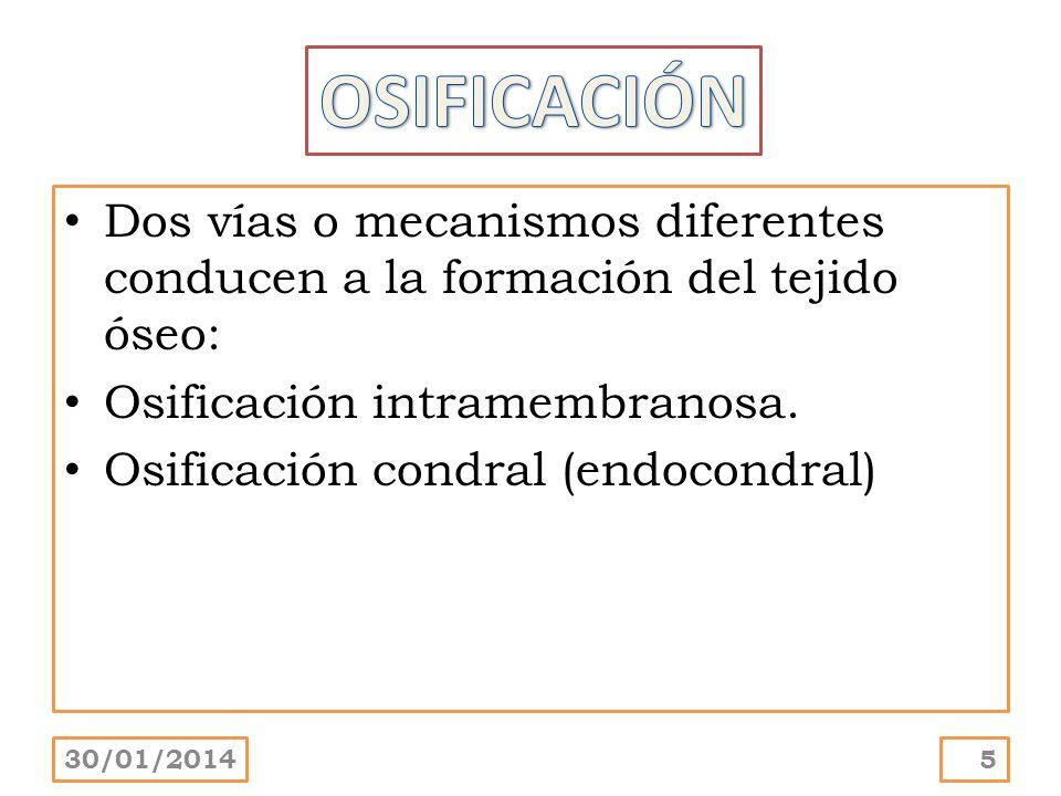 OSIFICACIÓN Dos vías o mecanismos diferentes conducen a la formación del tejido óseo: Osificación intramembranosa.