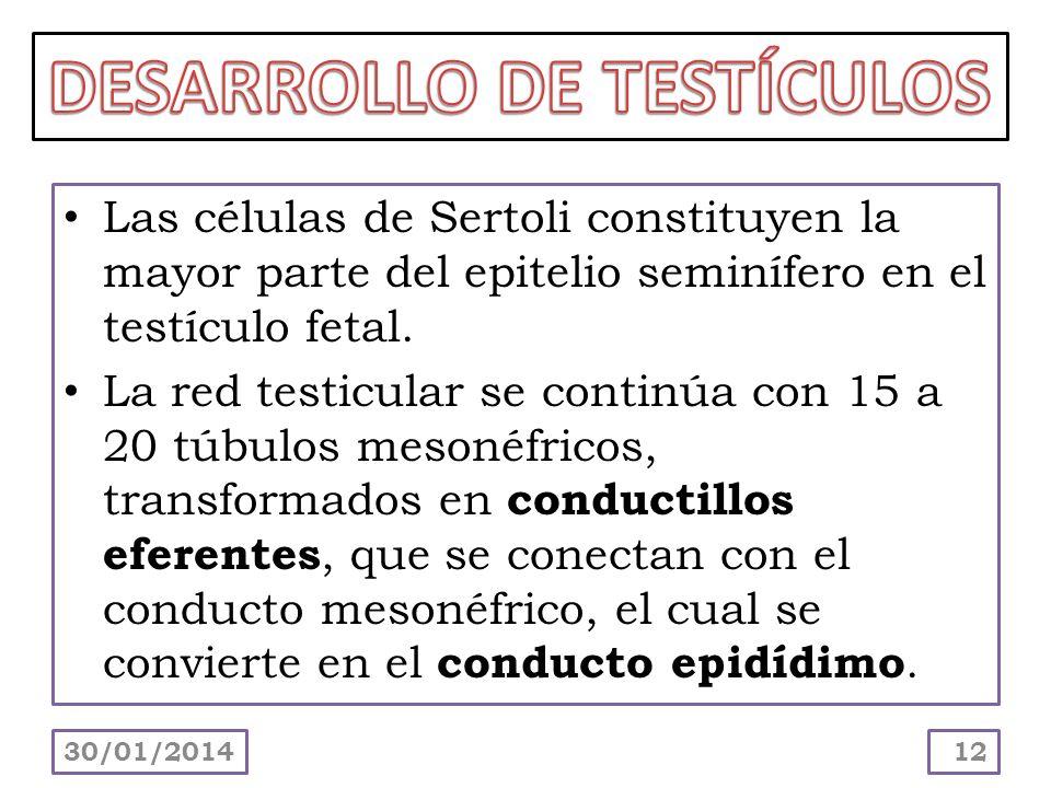DESARROLLO DE TESTÍCULOS