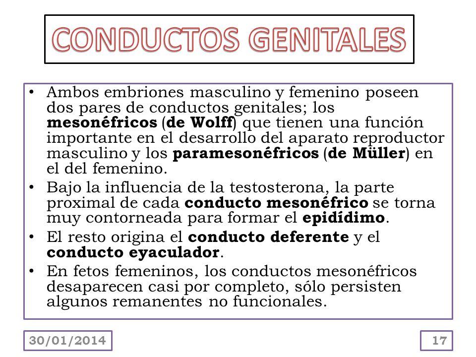 CONDUCTOS GENITALES