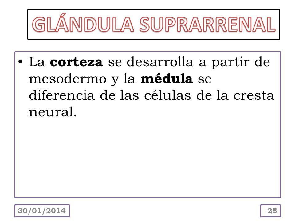 GLÁNDULA SUPRARRENAL La corteza se desarrolla a partir de mesodermo y la médula se diferencia de las células de la cresta neural.