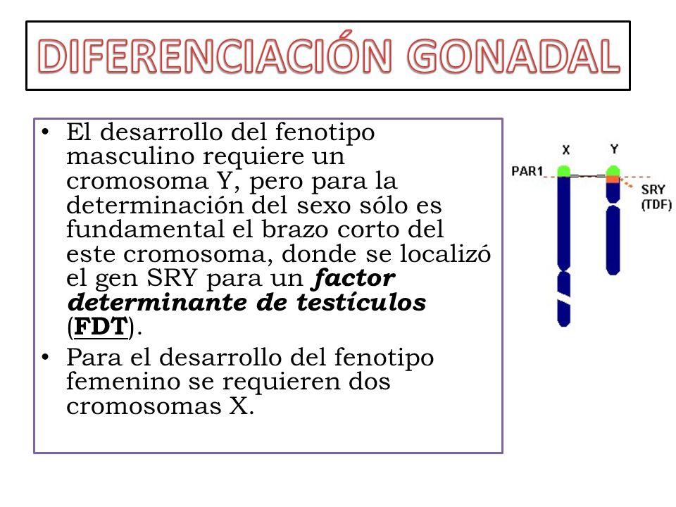 DIFERENCIACIÓN GONADAL