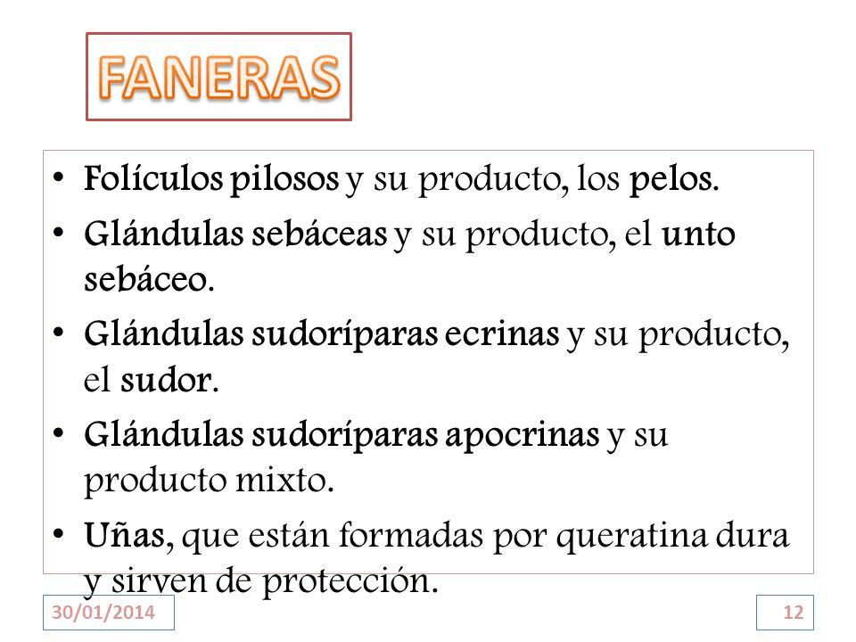FANERAS Folículos pilosos y su producto, los pelos.