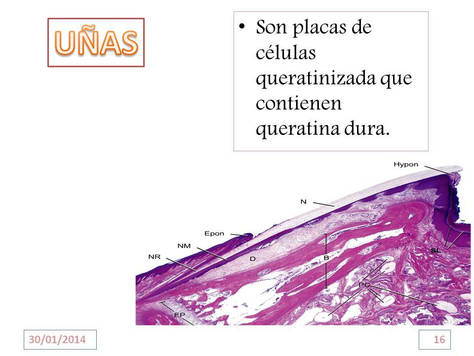 UÑAS Son placas de células queratinizada que contienen queratina dura.