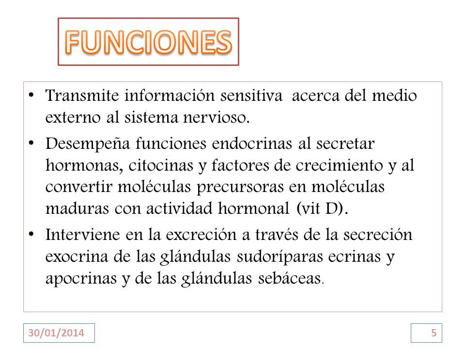 FUNCIONES Transmite información sensitiva acerca del medio externo al sistema nervioso.