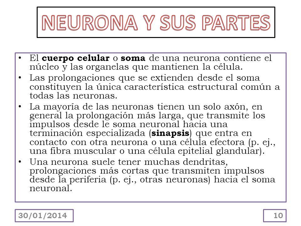 NEURONA Y SUS PARTES El cuerpo celular o soma de una neurona contiene el núcleo y las organelas que mantienen la célula.