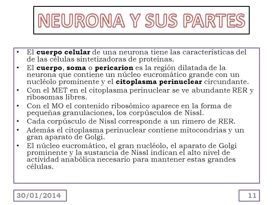 NEURONA Y SUS PARTES El cuerpo celular de una neurona tiene las características del de las células sintetizadoras de proteínas.