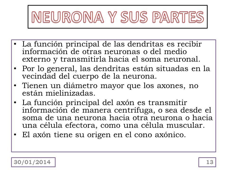 NEURONA Y SUS PARTES