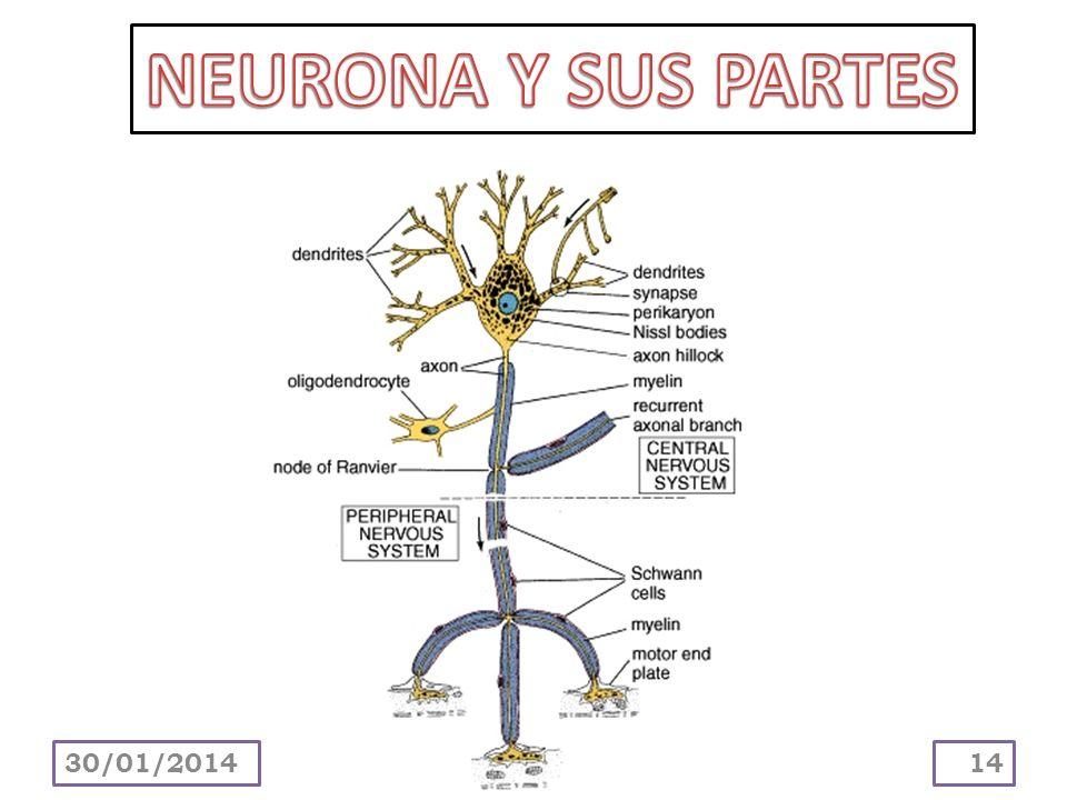 NEURONA Y SUS PARTES 24/03/2017