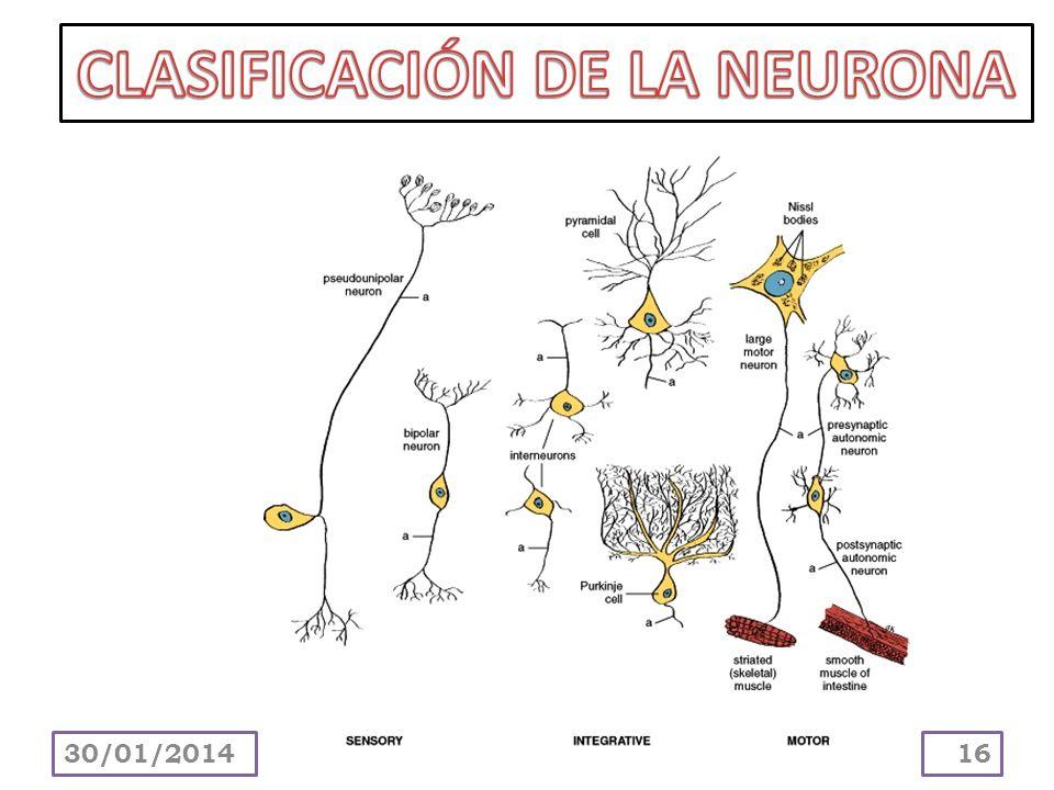 CLASIFICACIÓN DE LA NEURONA