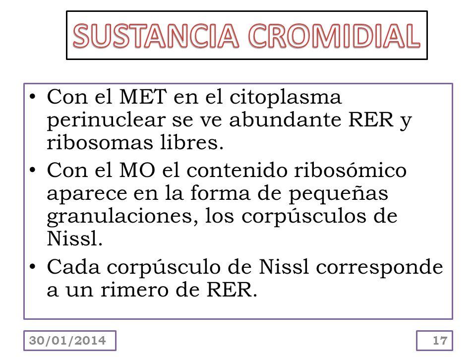 SUSTANCIA CROMIDIAL Con el MET en el citoplasma perinuclear se ve abundante RER y ribosomas libres.