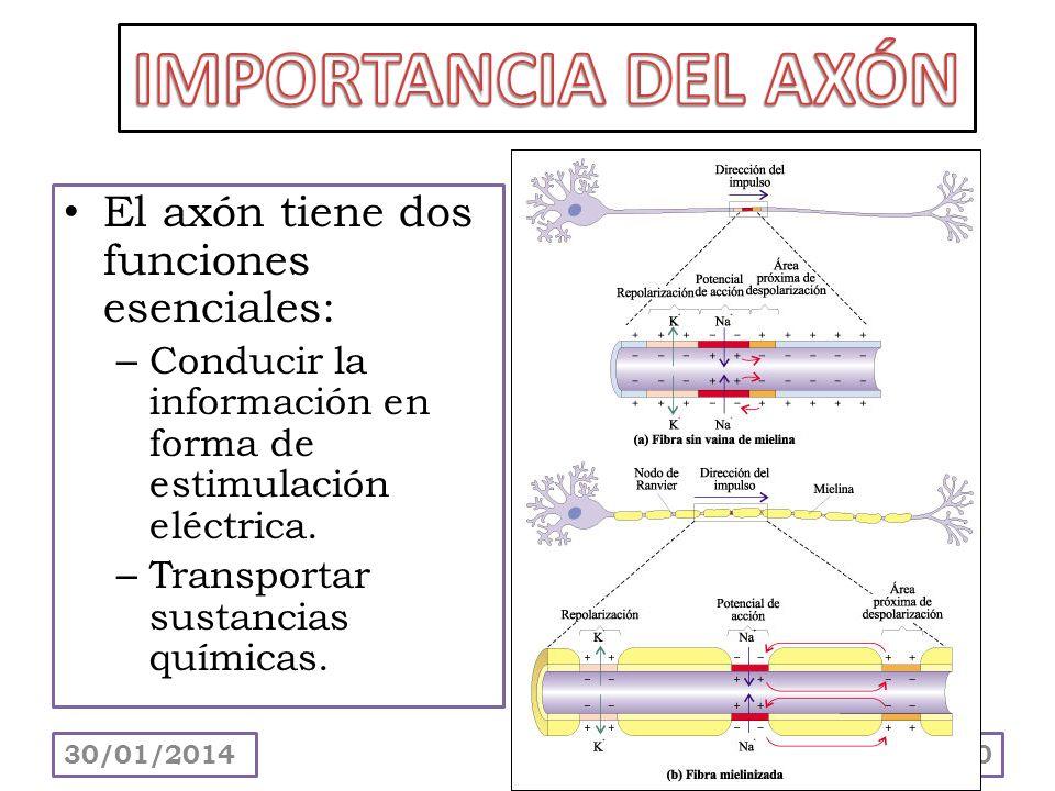 IMPORTANCIA DEL AXÓN El axón tiene dos funciones esenciales: