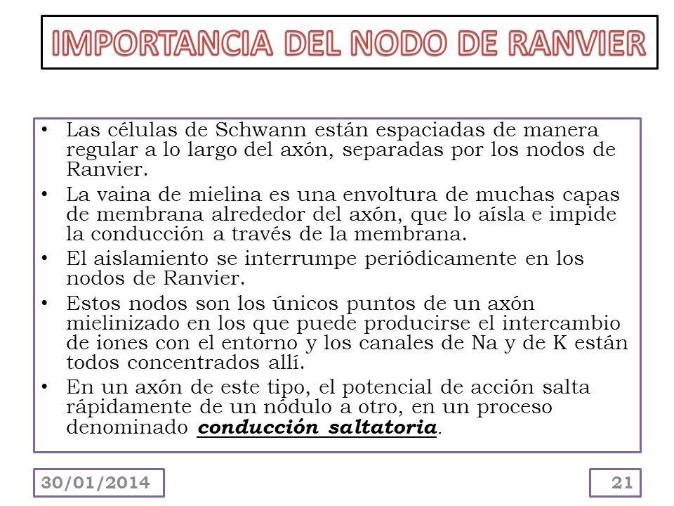 IMPORTANCIA DEL NODO DE RANVIER