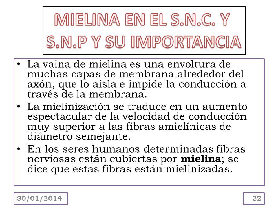 MIELINA EN EL S.N.C. Y S.N.P Y SU IMPORTANCIA