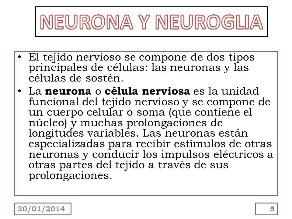 NEURONA Y NEUROGLIA El tejido nervioso se compone de dos tipos principales de células: las neuronas y las células de sostén.