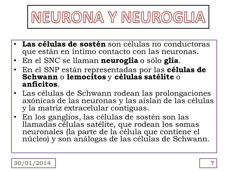 NEURONA Y NEUROGLIA Las células de sostén son células no conductoras que están en íntimo contacto con las neuronas.