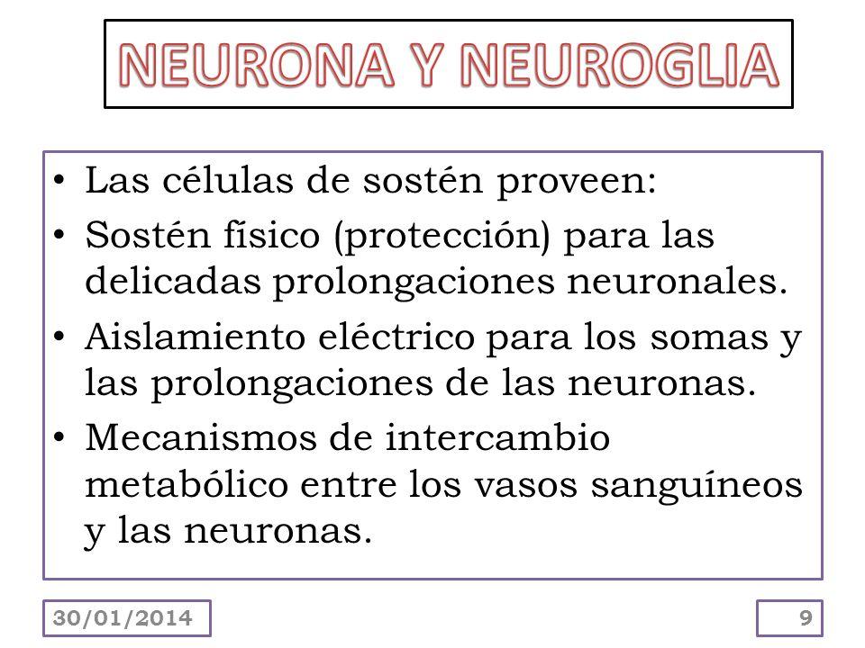 NEURONA Y NEUROGLIA Las células de sostén proveen: