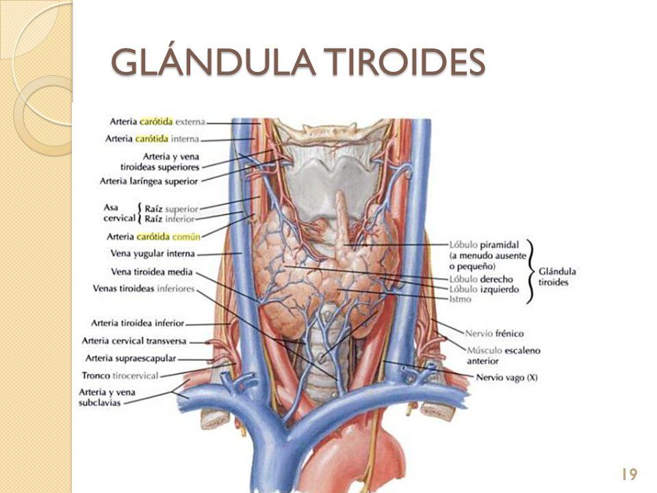 GLÁNDULA TIROIDES 24/03/2017