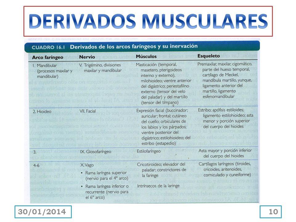 DERIVADOS MUSCULARES