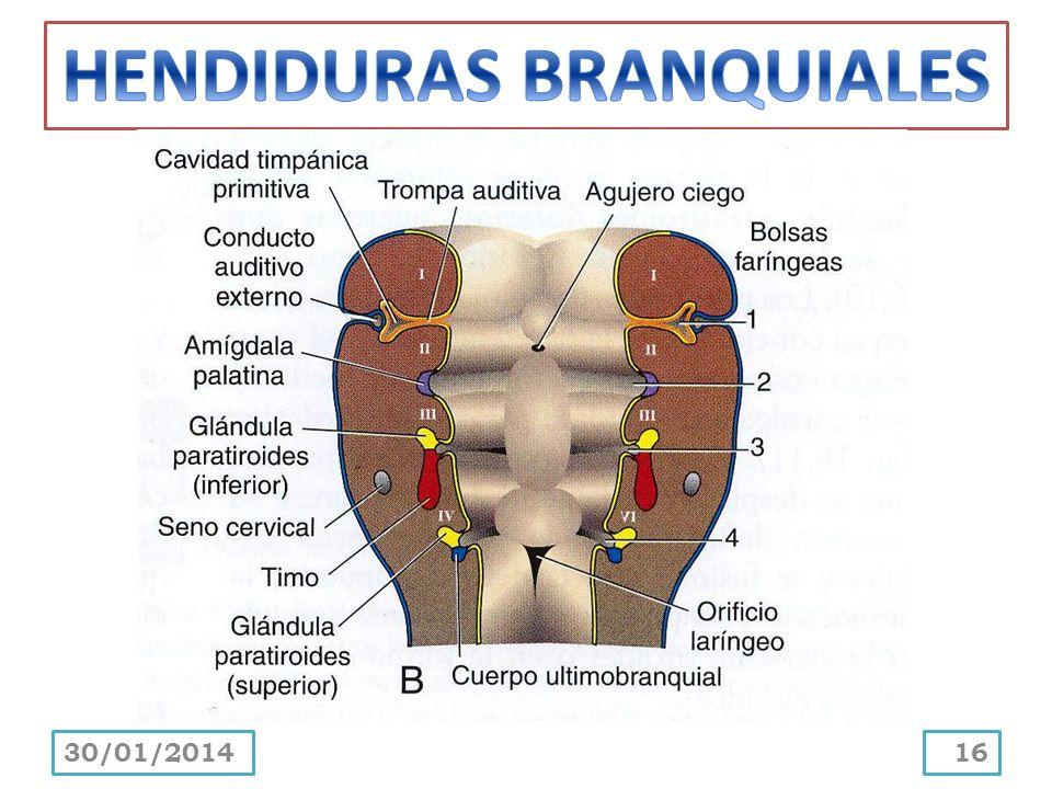 HENDIDURAS BRANQUIALES