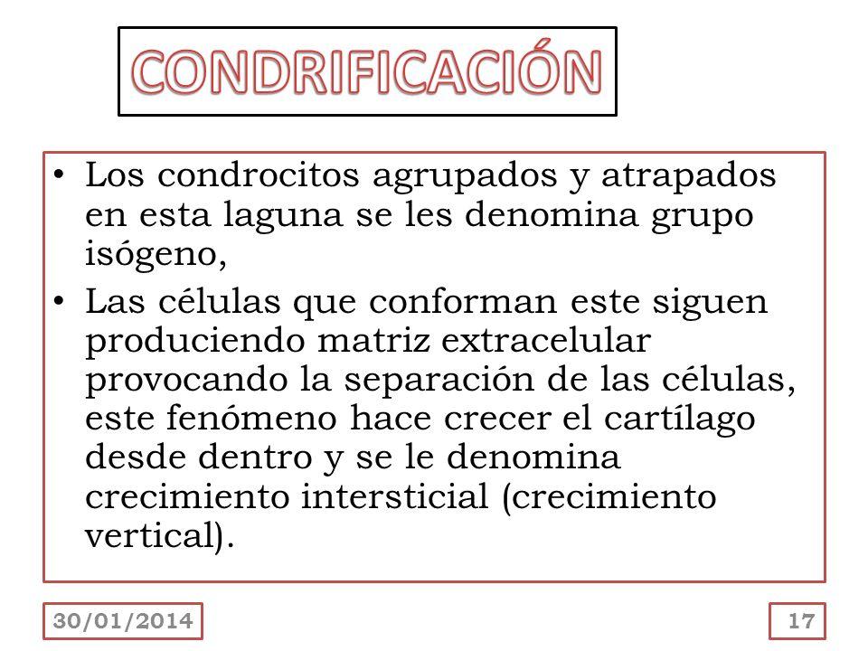 CONDRIFICACIÓN Los condrocitos agrupados y atrapados en esta laguna se les denomina grupo isógeno,