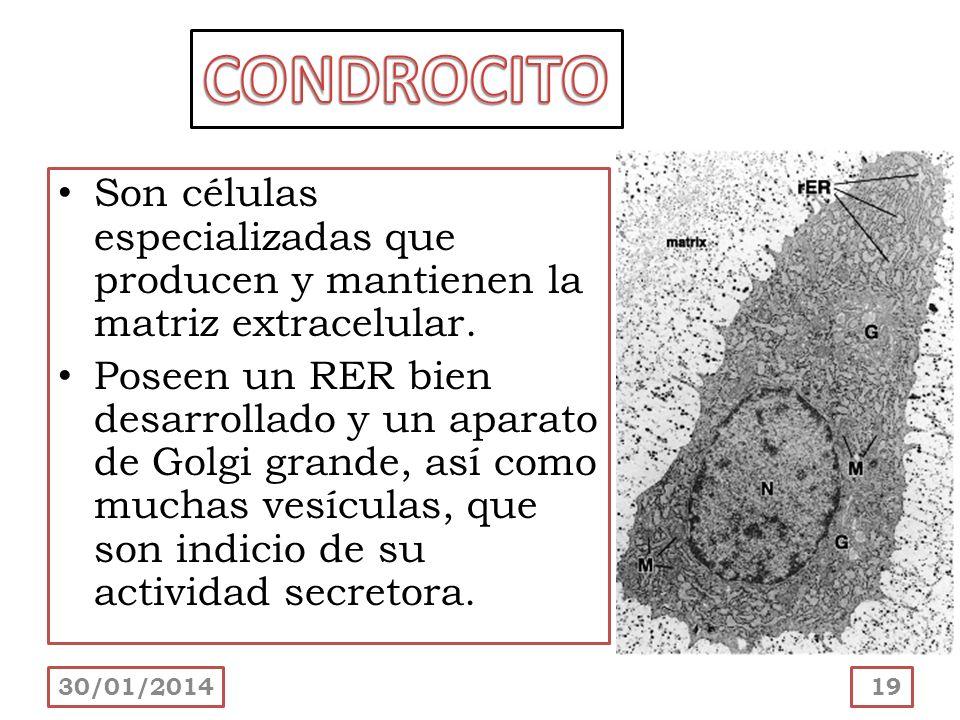 CONDROCITO Son células especializadas que producen y mantienen la matriz extracelular.