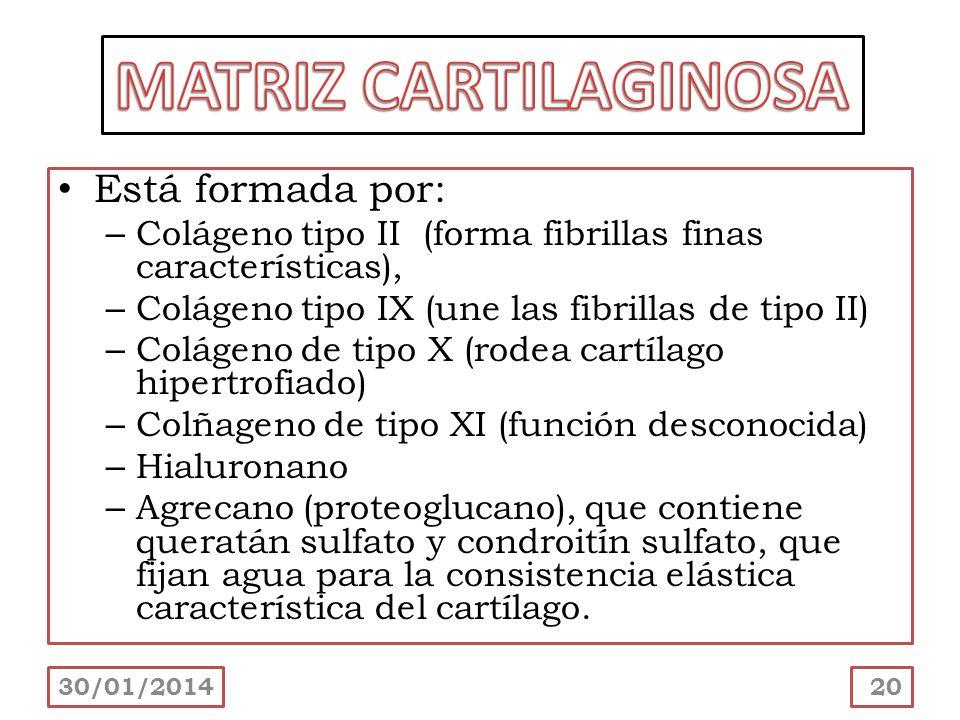 MATRIZ CARTILAGINOSA Está formada por:
