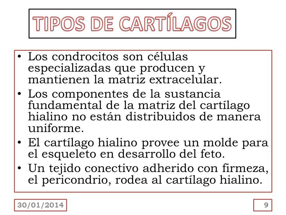TIPOS DE CARTÍLAGOS Los condrocitos son células especializadas que producen y mantienen la matriz extracelular.