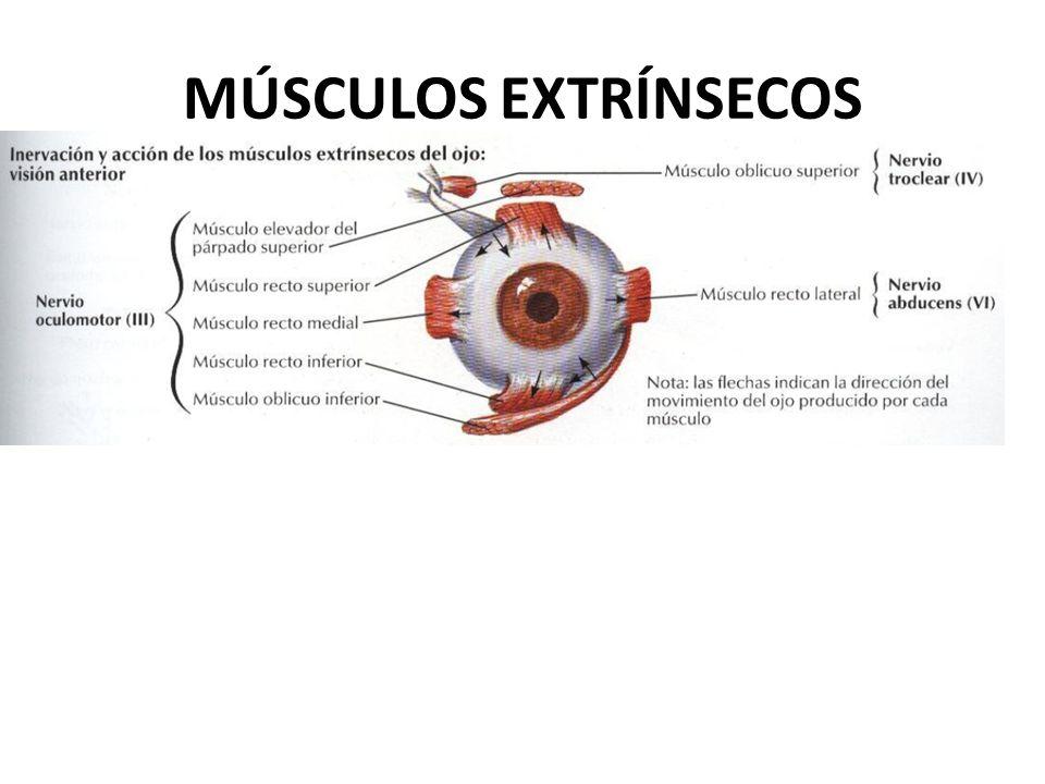 Hermosa Músculos Del Ojo Anatomía Molde - Anatomía de Las ...