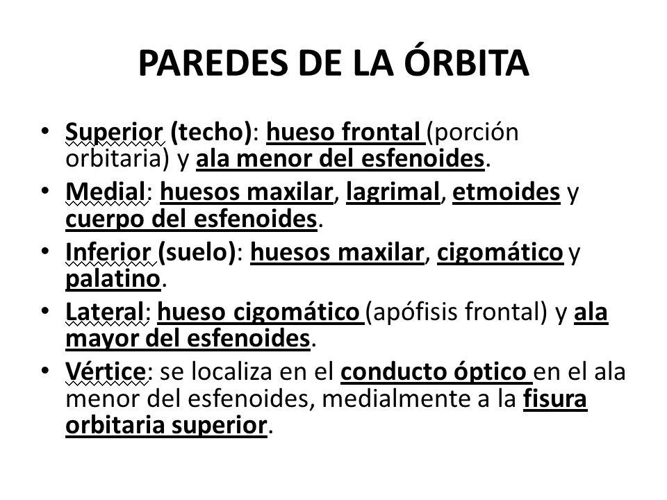 PAREDES DE LA ÓRBITASuperior (techo): hueso frontal (porción orbitaria) y ala menor del esfenoides.