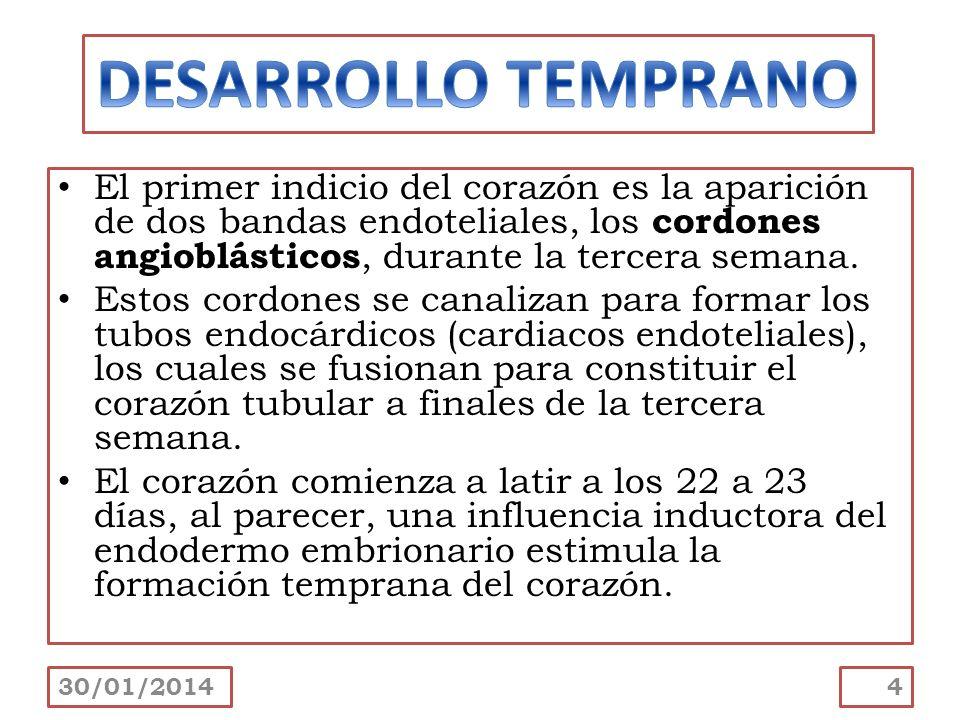 DESARROLLO TEMPRANO El primer indicio del corazón es la aparición de dos bandas endoteliales, los cordones angioblásticos, durante la tercera semana.