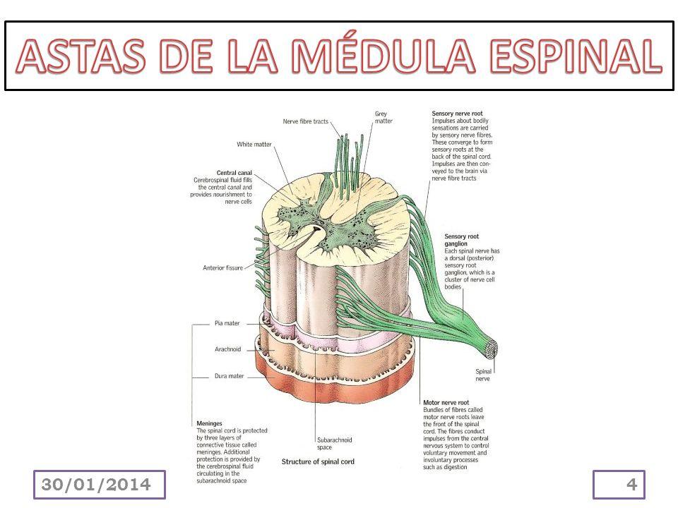 ASTAS DE LA MÉDULA ESPINAL