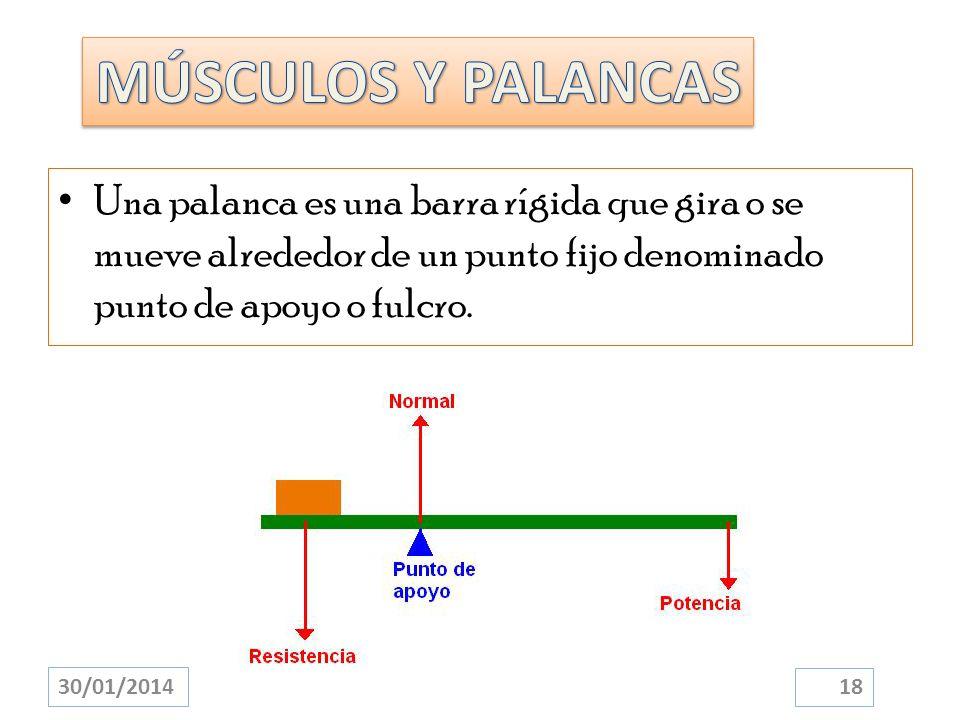 MÚSCULOS Y PALANCAS Una palanca es una barra rígida que gira o se mueve alrededor de un punto fijo denominado punto de apoyo o fulcro.