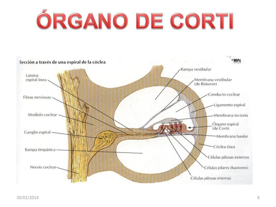 ÓRGANO DE CORTI 24/03/2017