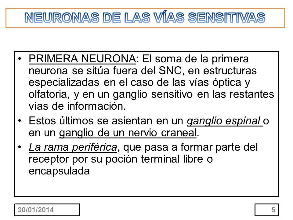 NEURONAS DE LAS VÍAS SENSITIVAS