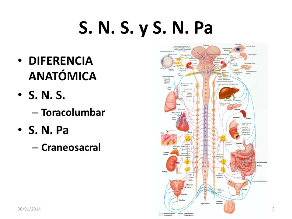 S. N. S. y S. N. Pa DIFERENCIA ANATÓMICA S. N. S. S. N. Pa