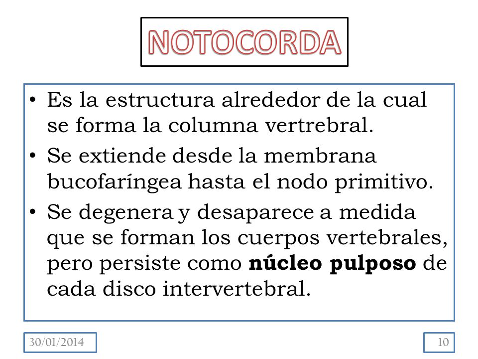 NOTOCORDA Es la estructura alrededor de la cual se forma la columna vertrebral. Se extiende desde la membrana bucofaríngea hasta el nodo primitivo.