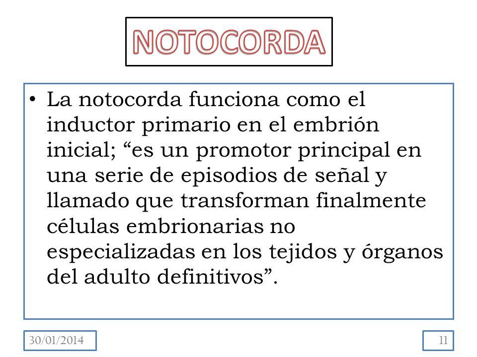 NOTOCORDA