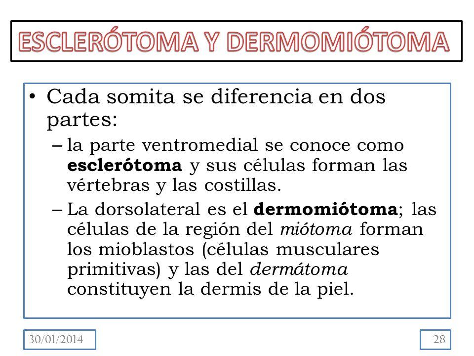 ESCLERÓTOMA Y DERMOMIÓTOMA
