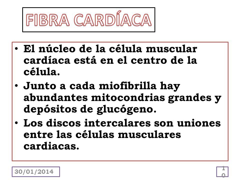 FIBRA CARDÍACA El núcleo de la célula muscular cardíaca está en el centro de la célula.