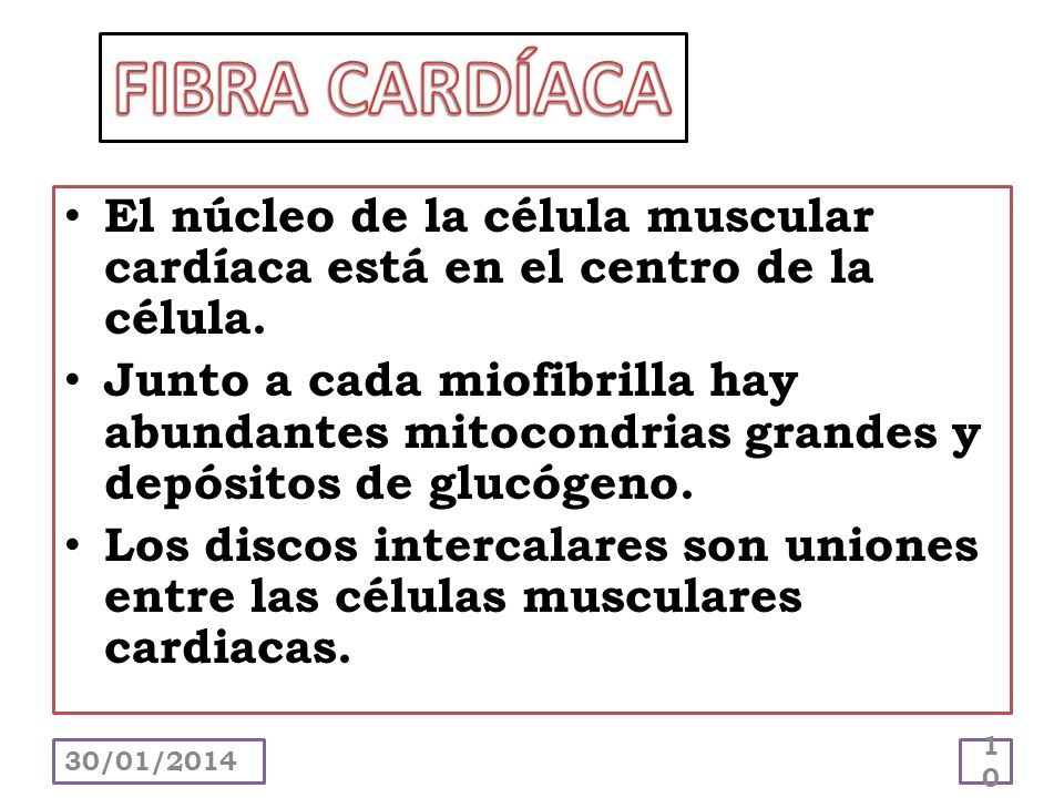 FIBRA CARDÍACAEl núcleo de la célula muscular cardíaca está en el centro de la célula.