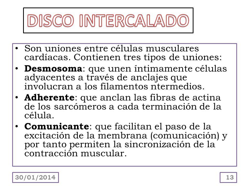 DISCO INTERCALADO Son uniones entre células musculares cardíacas. Contienen tres tipos de uniones: