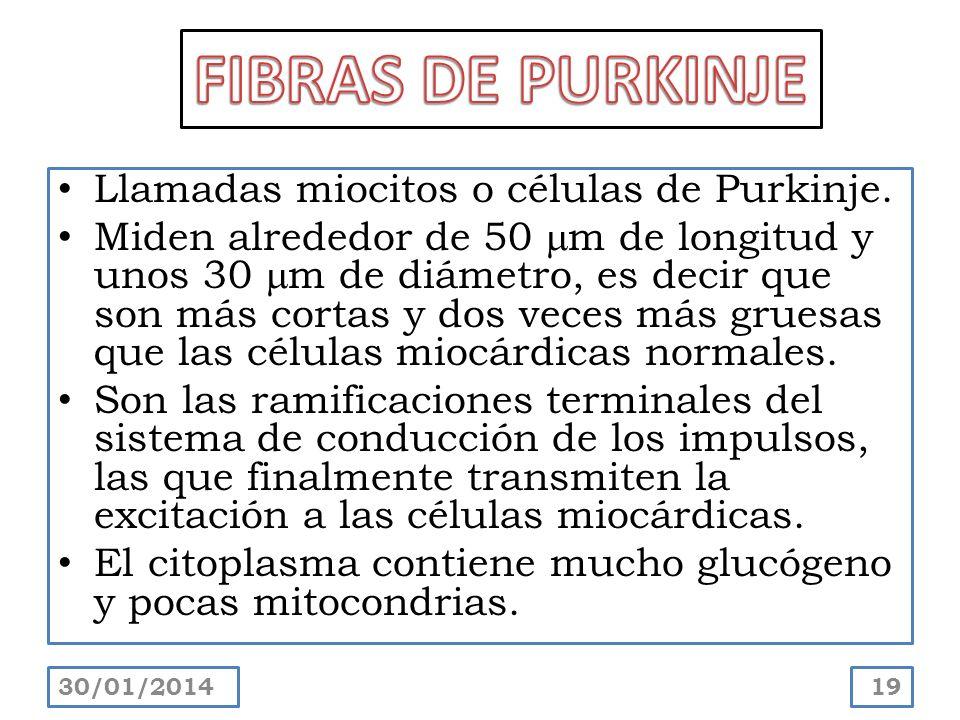 FIBRAS DE PURKINJE Llamadas miocitos o células de Purkinje.