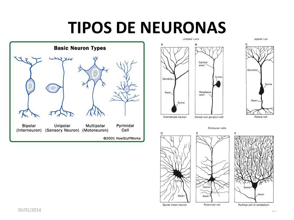 TIPOS DE NEURONAS 24/03/2017