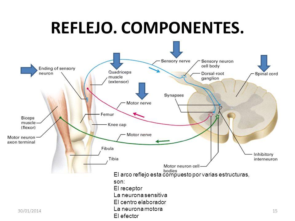 REFLEJO. COMPONENTES. El arco reflejo esta compuesto por varias estructuras, son: El receptor. La neurona sensitiva.