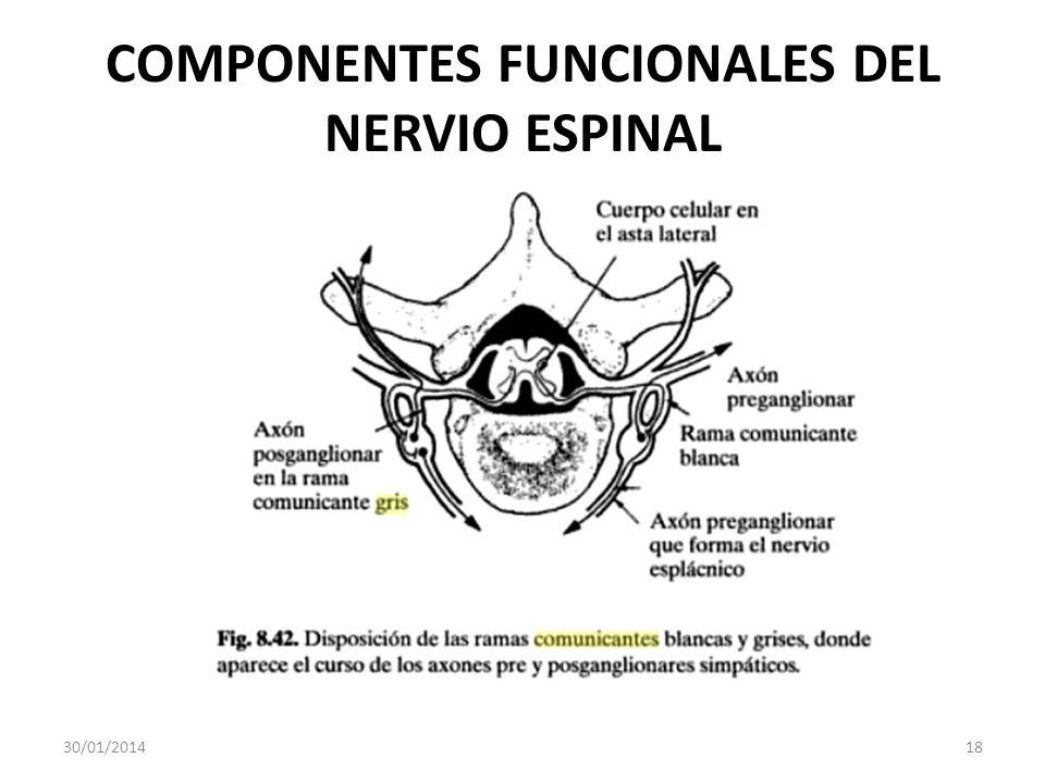 COMPONENTES FUNCIONALES DEL NERVIO ESPINAL