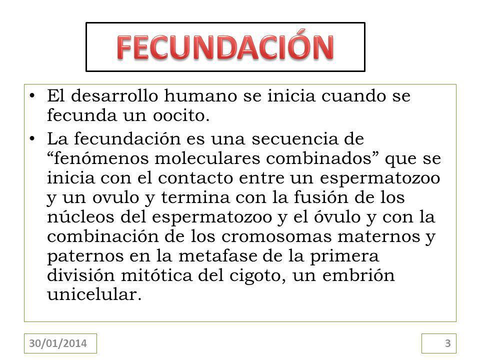 FECUNDACIÓN El desarrollo humano se inicia cuando se fecunda un oocito.