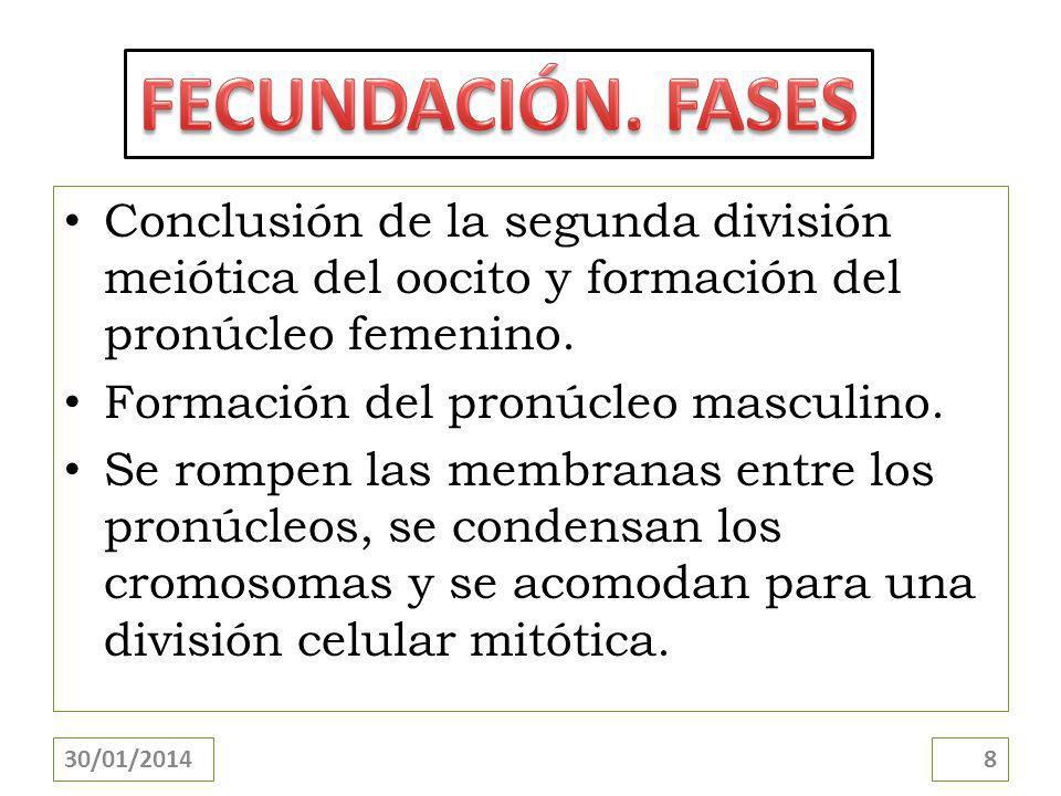 FECUNDACIÓN. FASES Conclusión de la segunda división meiótica del oocito y formación del pronúcleo femenino.