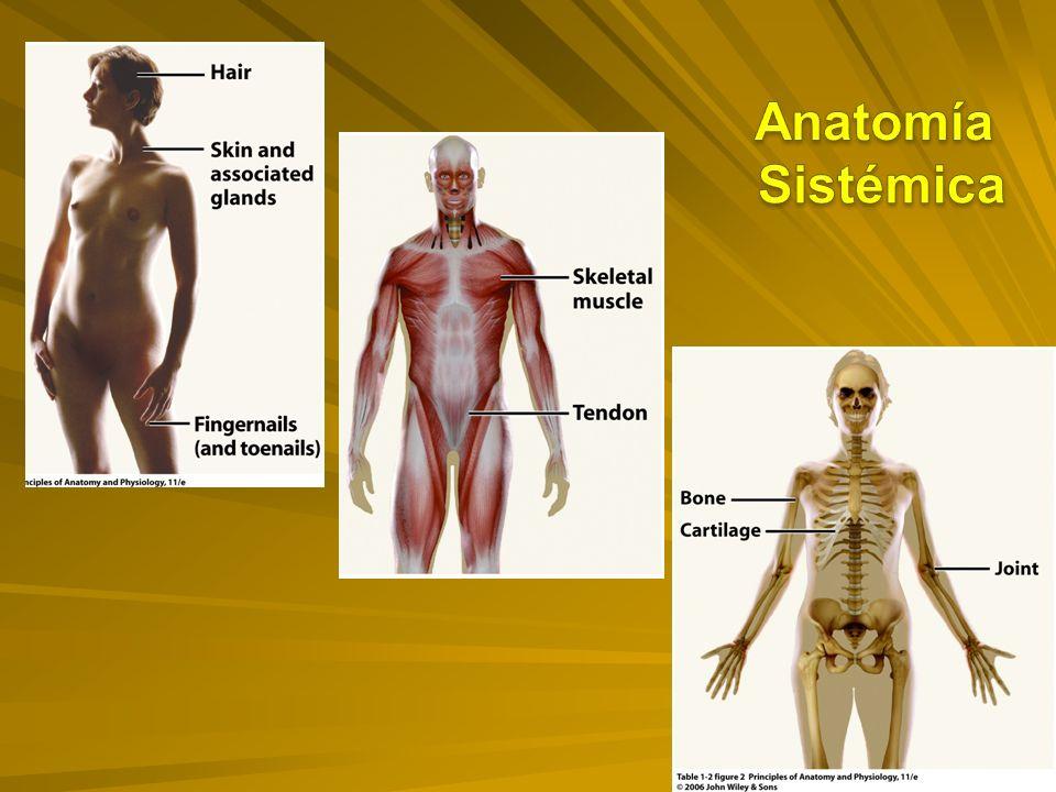 Magnífico Definición Anatomía Sistémica Ideas - Anatomía de Las ...