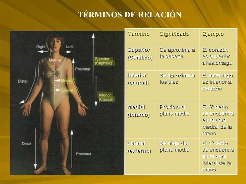 TÉRMINOS DE RELACIÓN Término Significado Ejemplo Superior (Cefálico)