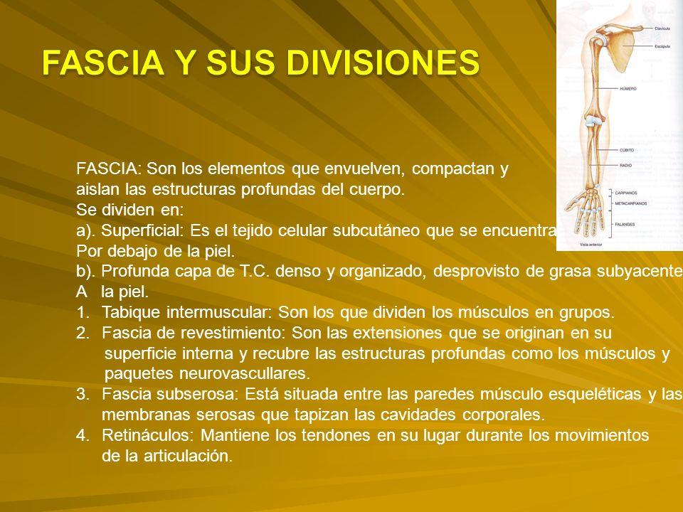 FASCIA Y SUS DIVISIONES